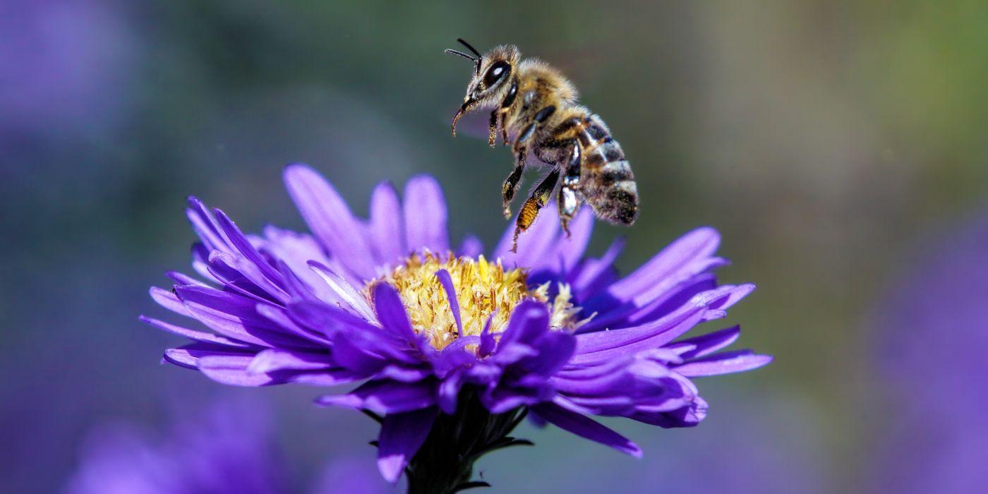 Astern: Eine Bienenpflanze