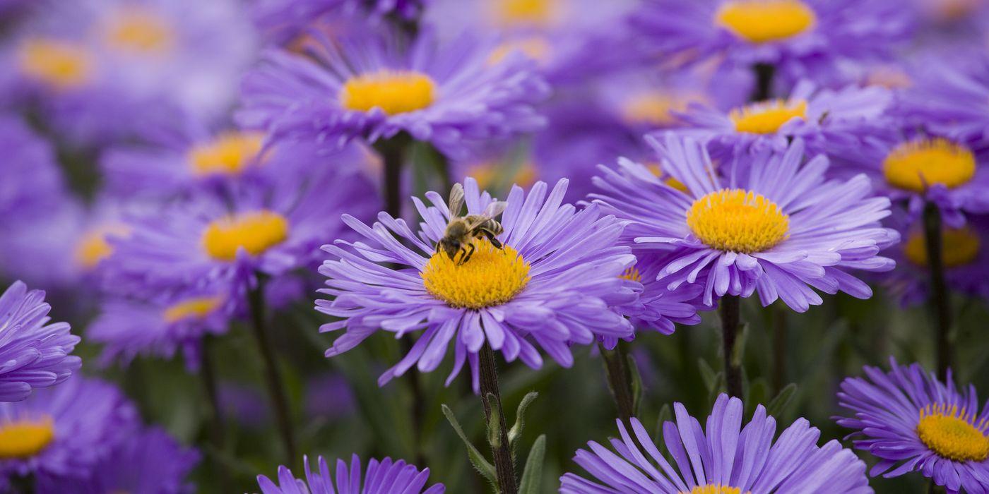 In der Blumensprache steht Aster für Liebe und Geduld
