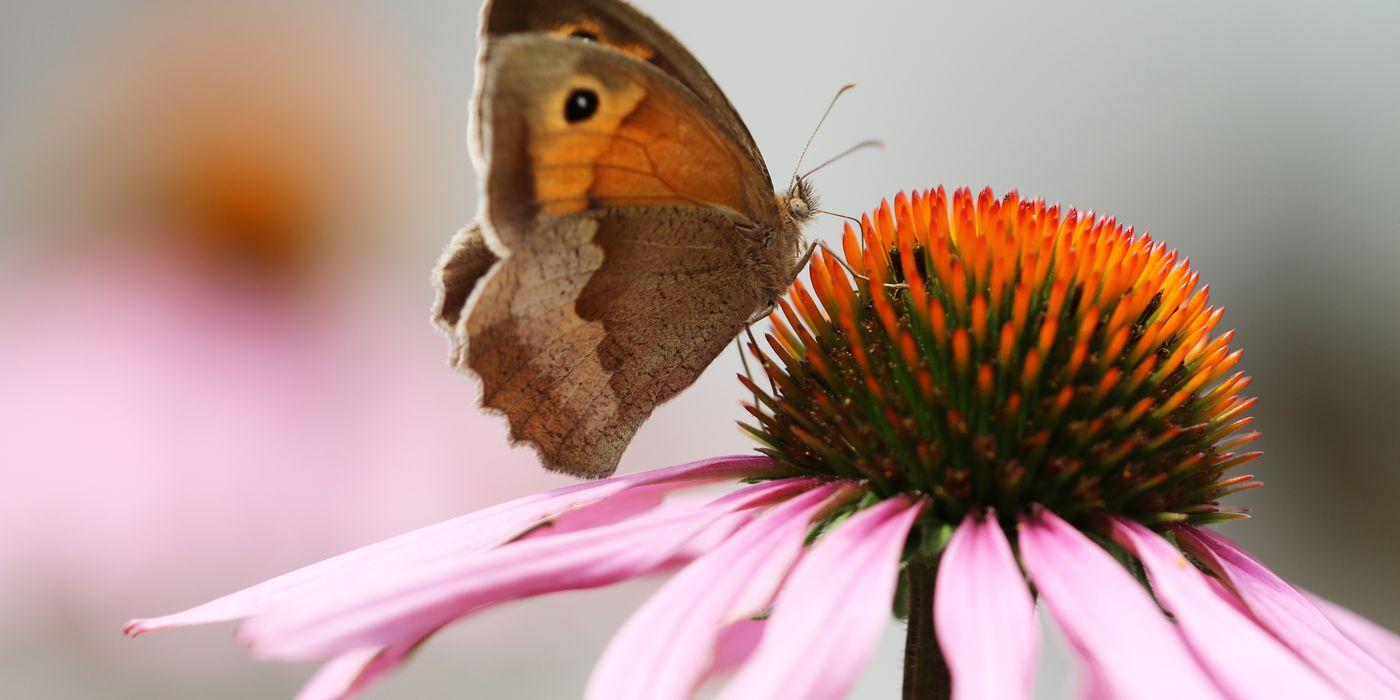 Ochsenauge Schmetterling